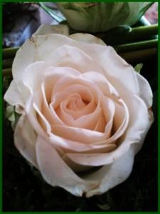 Du blanc et du vert  la-rose-225x300