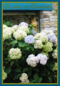 Les couleurs de l'hortensia hortensias-209x300